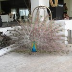 front  of  checkin  peacock hanging around
