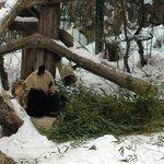 Панды из зоопарка во дворце Шенбрунн