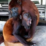 Sueca and Perla (Howler Monkeys)