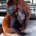 Sueca and Perla (Howler Monkeys)