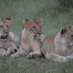 Lions during an evening game watch