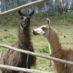 Which is the kissing llama?