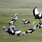 Crowed cranes