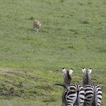 Those were concerned zebras... ;)