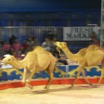 Camels on the run