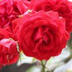 Excelentes rosas en el jardin