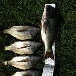 nice bream caught from the back of the cabins
