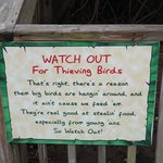 Watch out for thieving birds