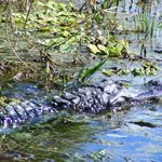 BIG gator swimming right off the side of the boat.