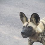Wild dog sighting at Kambaku