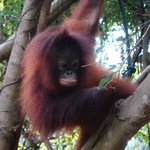 Baby Orang Utan in the resort's park