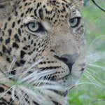 Up close to the leopard