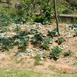 Green Cabbage Plantations