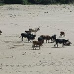 Local Nguni cattle which come down onto the beaches