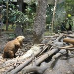 Beaver building a damn