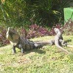 iguanas in the hotel gardens