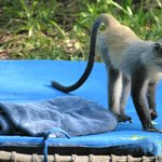 Monkey on lounger in lodge garden