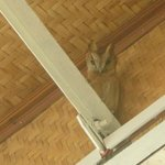 Horned Owl in rafters at outdoor dining area