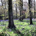 Blue Bell wood walk in March