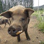 feeding daddy pig