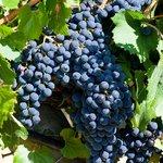 Uve delle varietà a bacca nera, per i Vini Spiridione e Toppo Rosso.