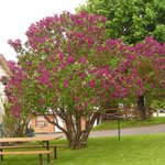 Guests picnic table by lilac tree