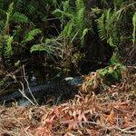Ein Mutteralligator