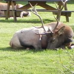 Elk napping on front lawn
