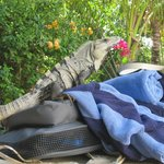 Male Iguana making himself at home on our belongings.