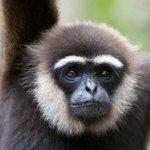 Boy the Gibbon
