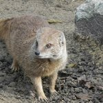 Kirkleatham Owl Center - Mongoose