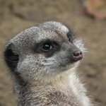 Kirkleatham Owl Center - Meerkat