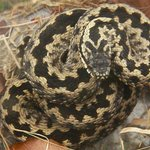 An angry adder