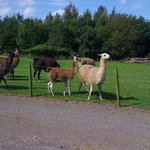 Llamas in the field along the drive