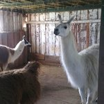 Llamas inside the barn