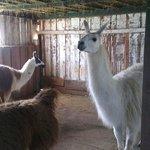 Llamas inside the barn