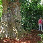 Huge Ficus has strangled a palm (see it's trunk on the left?)!