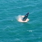 Whales spotted off the pier in Nags Head and offshore Ocracoke.