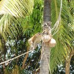 Apan plockar ner kokosnötter