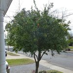 A producing orange tree in the front yard