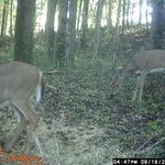 Deer from our game camera