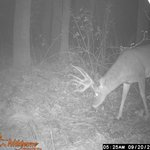 Buck from the game camera