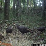 Turkey from the game camera