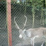 more reindeer