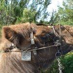 Camello que iba detrás del nuestro