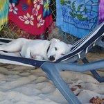 Rasta's beach dog