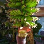 Bananas growing on the property