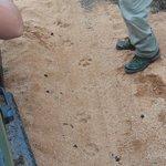 Fresh leopard tracks