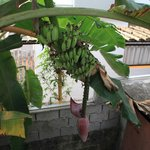 Banana grows next to the stairs