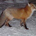 Fox passing through Grand Escape Cottages - 2008